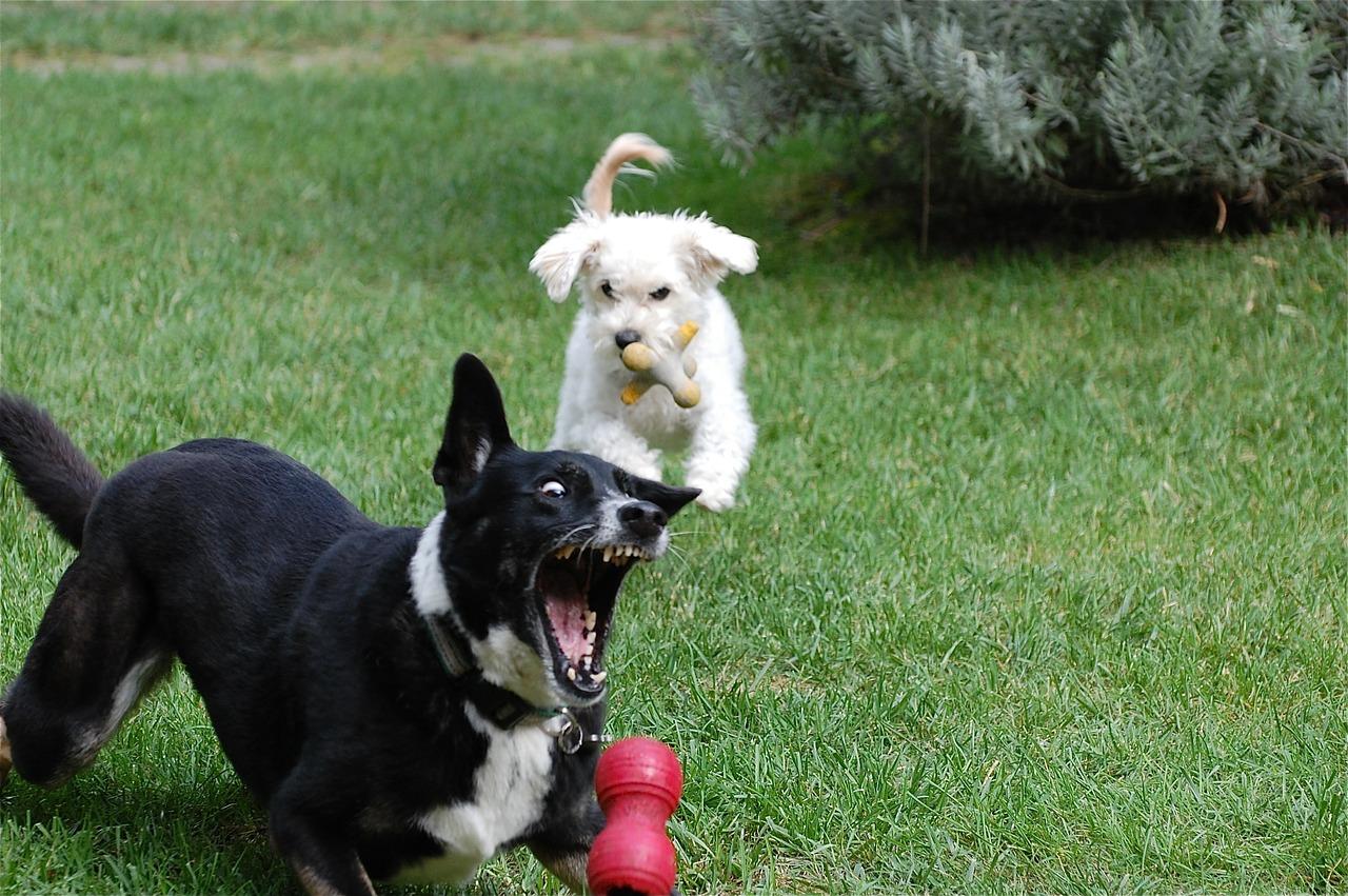 Kong; het speeltje voor elke hond